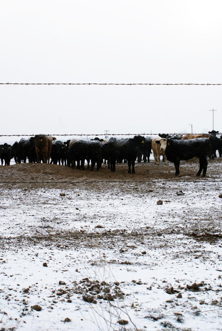cows 2/ teuber